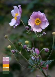 Herbst-Annemone